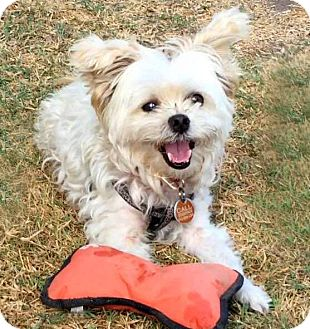 Maltese/Terrier (Unknown Type, Small) Mix Dog for adoption in Glendale, California - MONTY
