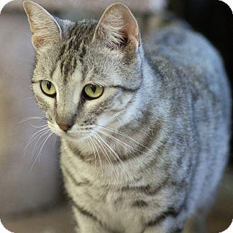 Domestic Shorthair Cat for adoption in Houston, Texas - BRIEANNA