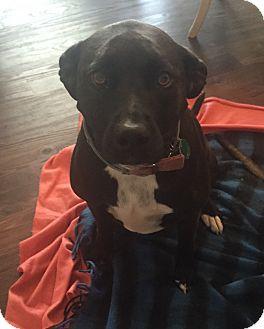 Labrador Retriever/American Staffordshire Terrier Mix Dog for adoption in Sacramento, California - P'nut