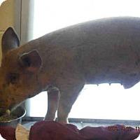 Adopt A Pet :: A179702 - Ocala, FL