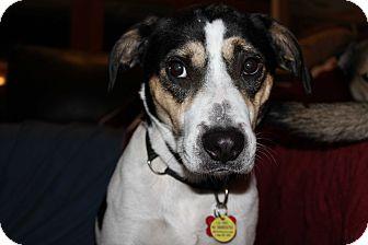 Labrador Retriever/Beagle Mix Dog for adoption in Zephyrhills, Florida - Charlie