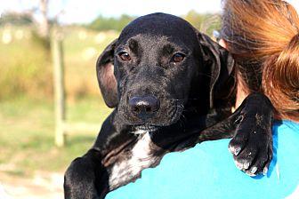 Labrador Retriever Mix Puppy for adoption in Glastonbury, Connecticut - Nickleby~ meet me!
