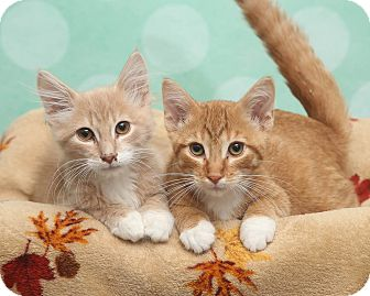 Domestic Mediumhair Kitten for adoption in Chippewa Falls, Wisconsin - Taters