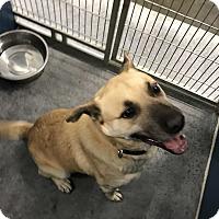 Adopt A Pet :: Rupert (HW Pos)* - Henderson, NC