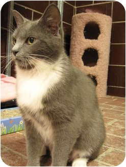 Domestic Shorthair Cat for adoption in Centerburg, Ohio - Socks