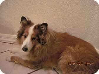 Sheltie, Shetland Sheepdog Dog for adoption in apache junction, Arizona - Beau