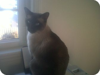 Siamese Cat for adoption in Fairborn, Ohio - Talkative Ted