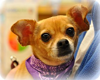 Chihuahua Mix Dog for adoption in Sparta, New Jersey - Gabby