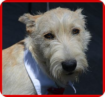 Terrier (Unknown Type, Medium) Mix Dog for adoption in Plano, Texas - Brutus