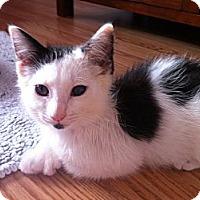 Adopt A Pet :: Polly Mitts - Long Beach, NY