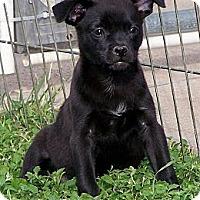 Adopt A Pet :: Sasha - San Angelo, TX