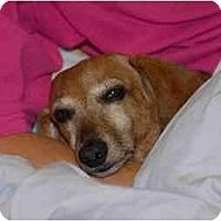Adopt A Pet :: Sugar Baby - Ft. Myers, FL