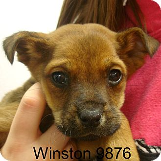 Border Collie Mix Puppy for adoption in Hagerstown, Maryland - Winston