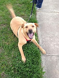 Labrador Retriever/Pit Bull Terrier Mix Dog for adoption in Thomasville, North Carolina - Russell