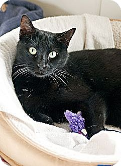 Domestic Shorthair Cat for adoption in Carencro, Louisiana - Jack Black