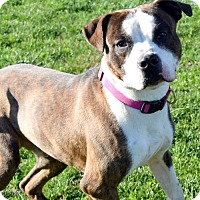 Adopt A Pet :: Apache D-67664 **Pooch with Perks** - Westampton, NJ