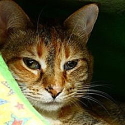 Photo 1 - Domestic Shorthair Cat for adoption in Lombard, Illinois - Autumn