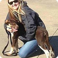 Australian Cattle Dog Mix Dog for adoption in Tahlequah, Oklahoma - Poco
