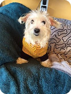 Maltese/Westie, West Highland White Terrier Mix Dog for adoption in Memphis, Tennessee - Lola