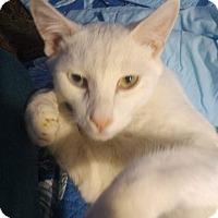 Turkish Van Cat for adoption in Alhambra, California - Aries
