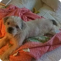 Shih Tzu Mix Dog for adoption in Poland, Indiana - Ray Charles
