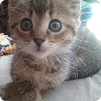 Domestic Shorthair Kitten for adoption in Devon, Pennsylvania - LA-bella