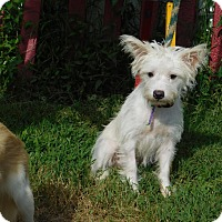 Adopt A Pet :: Wesley Westie - West Warwick, RI