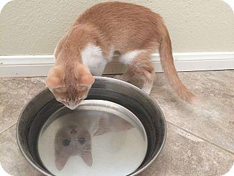 Domestic Shorthair Kitten for adoption in Hesperia, California - Ponytail
