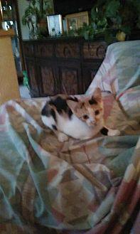 Domestic Shorthair Kitten for adoption in Montello, Wisconsin - Dahlia