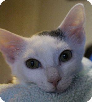 Domestic Shorthair Kitten for adoption in Colorado Springs, Colorado - Arbyrd