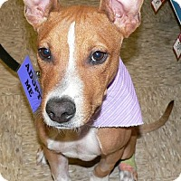 Adopt A Pet :: CHESTER - Fort Lauderdale, FL