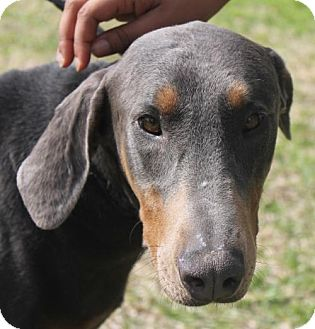 Doberman Pinscher Dog for adoption in Waco, Texas - Poseidon
