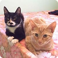 Domestic Shorthair Kitten for adoption in Berkeley, California - Sam and Natasha