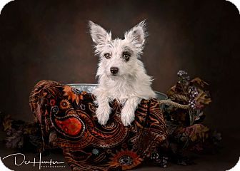 Jack Russell Terrier Mix Dog for adoption in Palmdale, California - Foxi