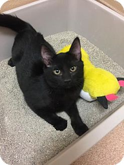 Domestic Shorthair Kitten for adoption in Cumming, Georgia - Buster
