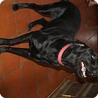 Labrador Retriever Dog for adoption in Olympia, Washington - Rocky W
