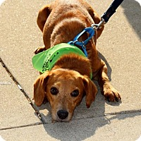Beagle Mix Dog for adoption in Centreville, Virginia - Tommy