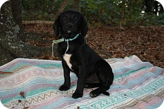 Labrador Retriever/Beagle Mix Puppy for adoption in Seneca, South Carolina - Ebony $250