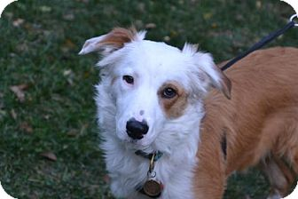Collie Dog for adoption in Washington, D.C. - Wishbone (Has Application)