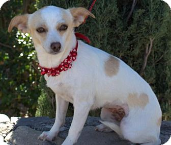 Chihuahua Mix Dog for adoption in Tucson, Arizona - Skittles