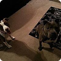 Adopt A Pet :: Bruno - Shavertown, PA