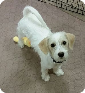 Floyd Wirey Cutie Adopted Puppy Phoenix Az Terrier Unknown Type Small Beagle Mix