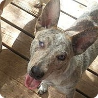 Australian Cattle Dog/Bull Terrier Mix Dog for adoption in Houston, Texas - Kiwi