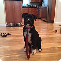 Adopt A Pet :: Remington (In New England) - Brattleboro, VT