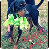 Adopt A Pet :: Gunner - Groton, MA