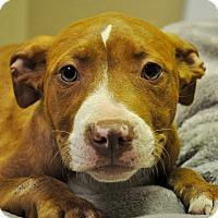 Adopt A Pet :: Dutchess - Modesto, CA
