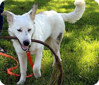 Australian Shepherd Mix Dog for adoption in Post Falls, Idaho - Linus - Deaf & Sight Impaired