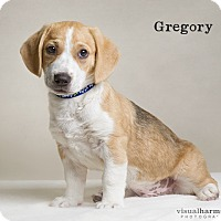 Adopt A Pet :: Gregory - Chandler, AZ
