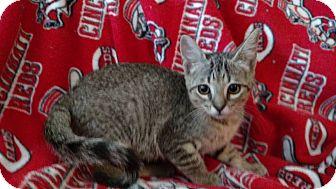 Domestic Shorthair Kitten for adoption in Middletown, Ohio - Bonham
