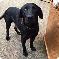 Adopt A Pet :: Virtue - Denton, TX